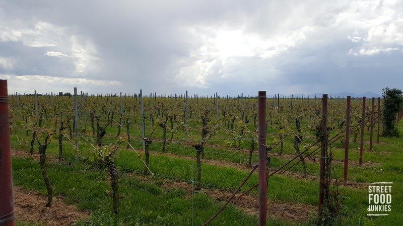Weinreben in der südlichen Pfalz bei Hochstadt